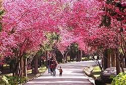 賞櫻趣  介紹台灣各地的  櫻花季 櫻花祭  (三)日月潭 九族篇