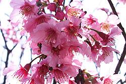 賞櫻趣  介紹台灣各地的   櫻花季 櫻花祭   (四)武陵櫻花篇